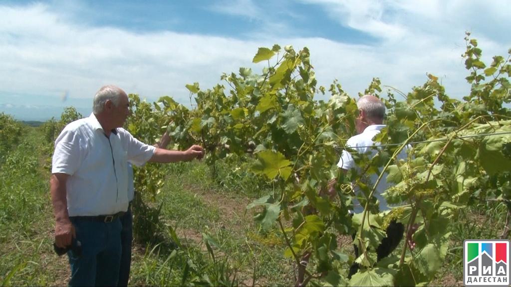Republika Dagestan aktivně pracuje na zakládání nových vinic