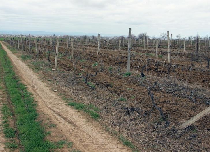 V okrese Kayakent v Dagestánu byl plán jarní výsadby vinic překročen